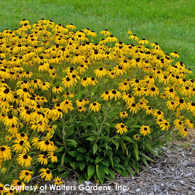 Rudbeckia American Gold Rush Black-Eyed Susan for sale
