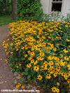 Rudbeckia fulgida Goldsturm Black-Eyed Susan for sale