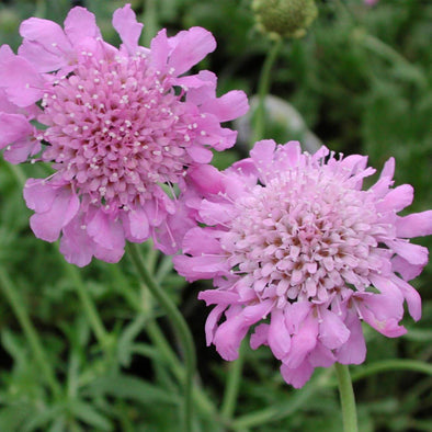 Scabiosa columbaria Pink Mist Pincushion Flower for sale