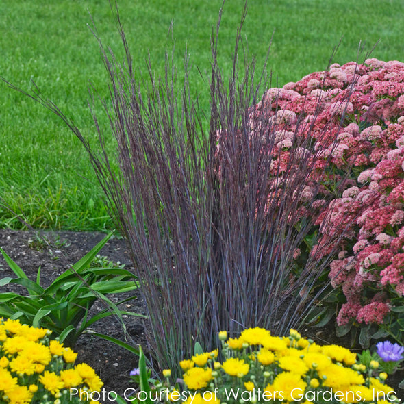 Schizachyrium Smoke Signal Little Bluestem