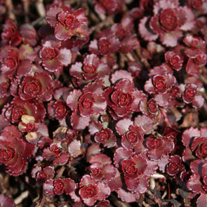 Sedum Fuldaglut Blaze of Fulda Stonecrop for sale