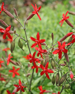 Silene virginica Fire Pinks