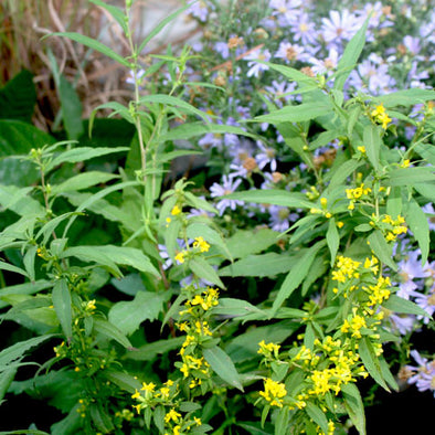 Solidago caesia Blue-stem Goldenrod