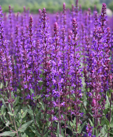 Salvia sylvestris May Night Woodland Sage for sale