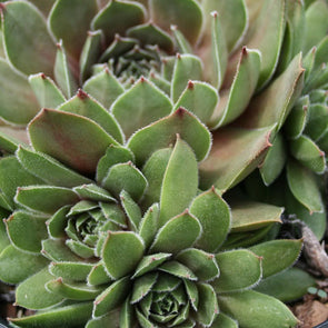 Sempervivum 'Emerald Empress' Hen & Chicks