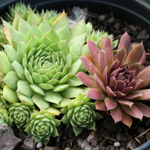Sempervivum Hardy Mix Hens & Chicks for sale