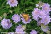 Scabiosa columbaria Butterfly Blue Pincushion Flower for sale