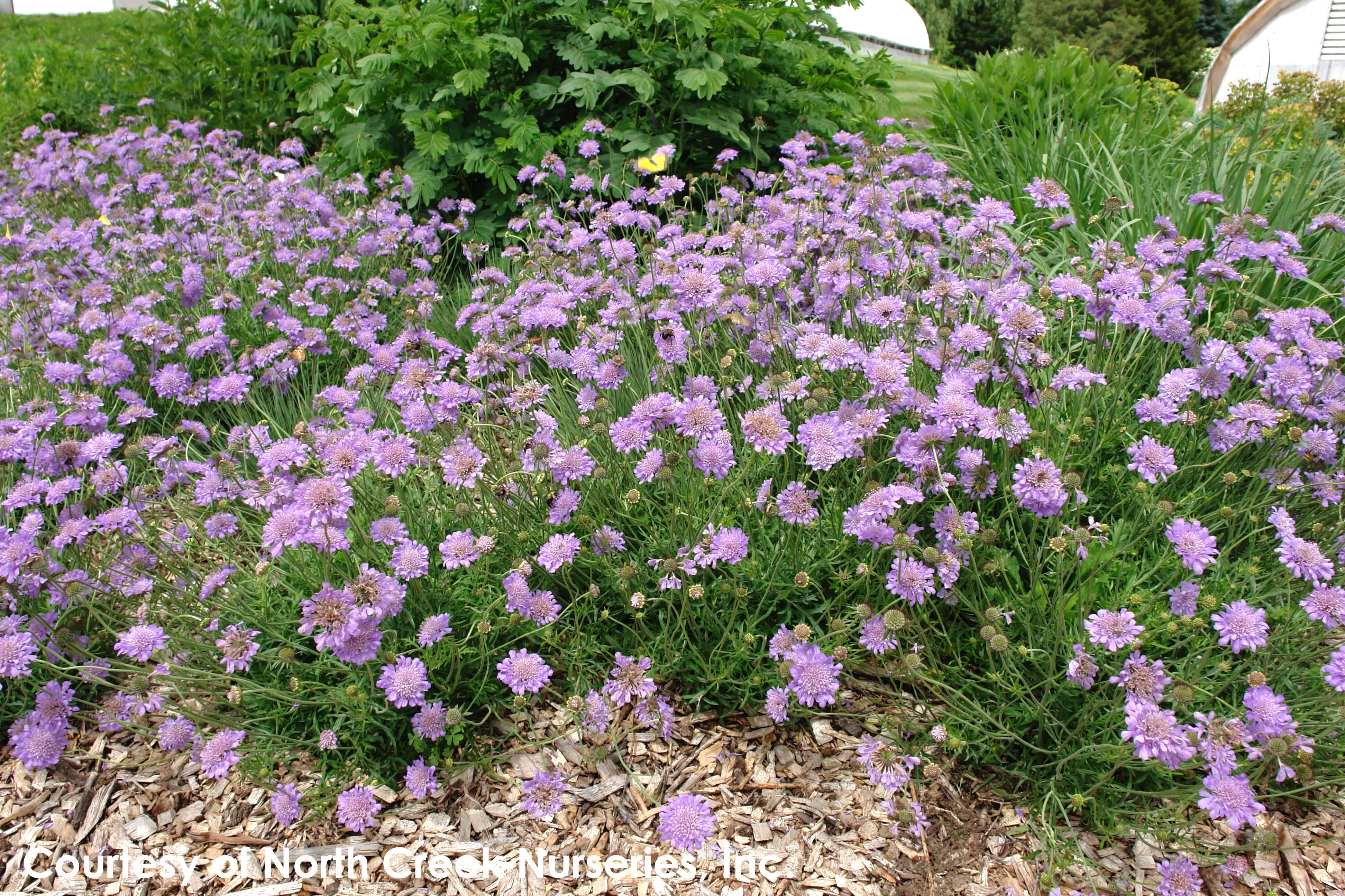 Scabiosa Butterfly Blue Pincushion Flower For Sale Rare Roots