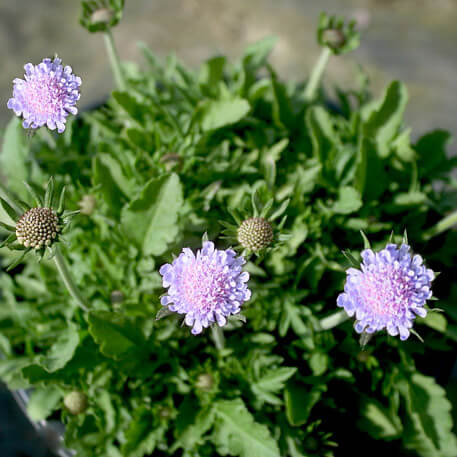 Scabiosa columbaria 'Blue Note' Dwarf Pincushion Flower
