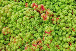 Sedum acre Gold Moss for sale