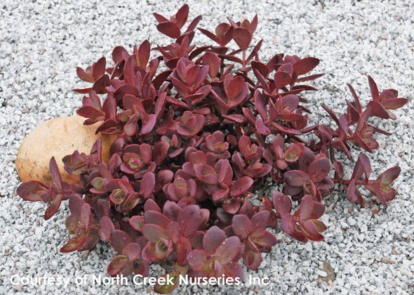 Sedum Cherry Tart Stonecrop for sale