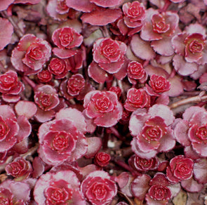 Sedum spurium Dragon's Blood Stonecrop for sale
