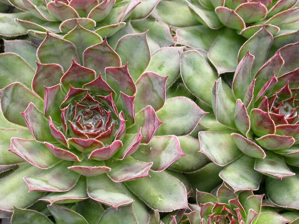 Sempervivum Black