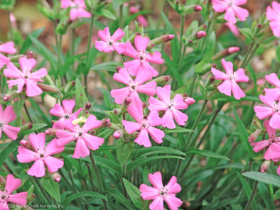 Silene caroliniana Short and Sweet Wild Pinks for sale