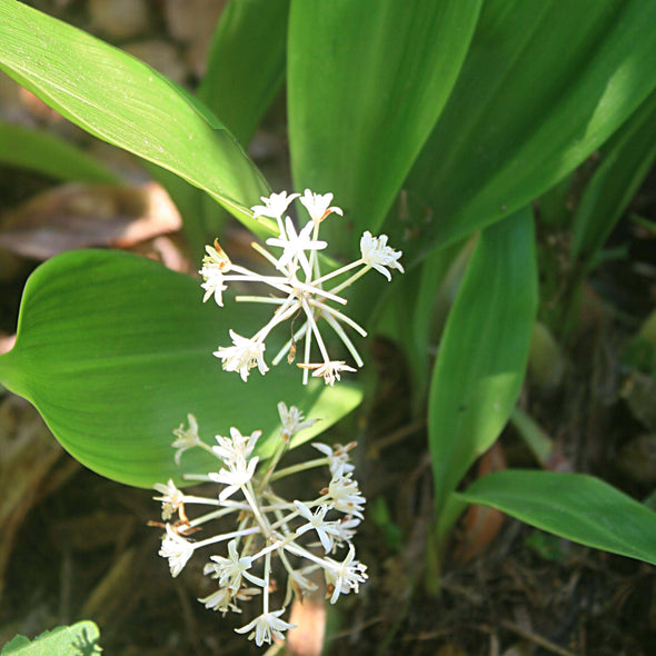 Speirantha convallarioides False Lily-of-the-Valley