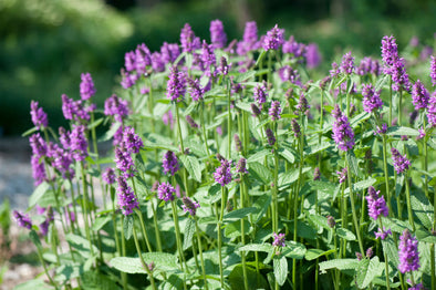 Stachys monieri Hummelo Betony for sale
