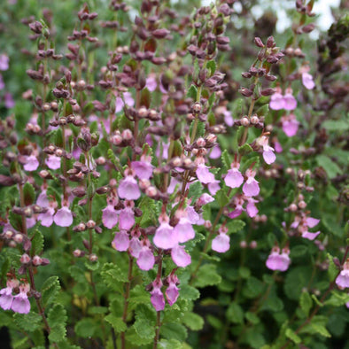 Teucrium chamaedrys Germander for sale