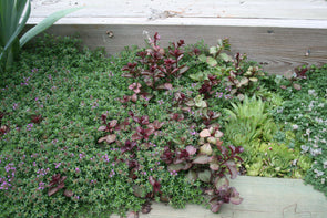 Pink Chintz Thyme for sale | Rare Roots
