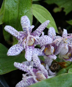Tricyrtis hirta 'Moonlight' Toadlily