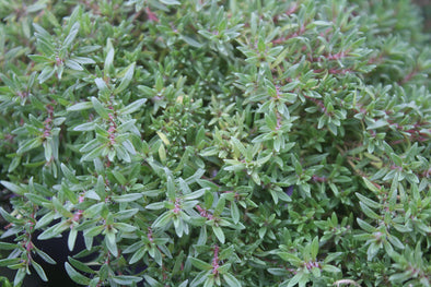 Spicy Orange Thyme for sale | Rare Roots