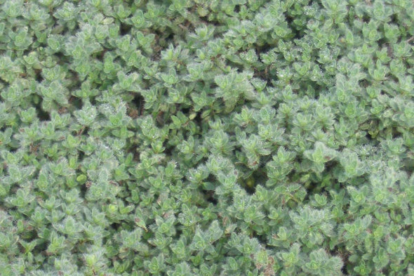 Wooly Thyme for sale | Rare Roots