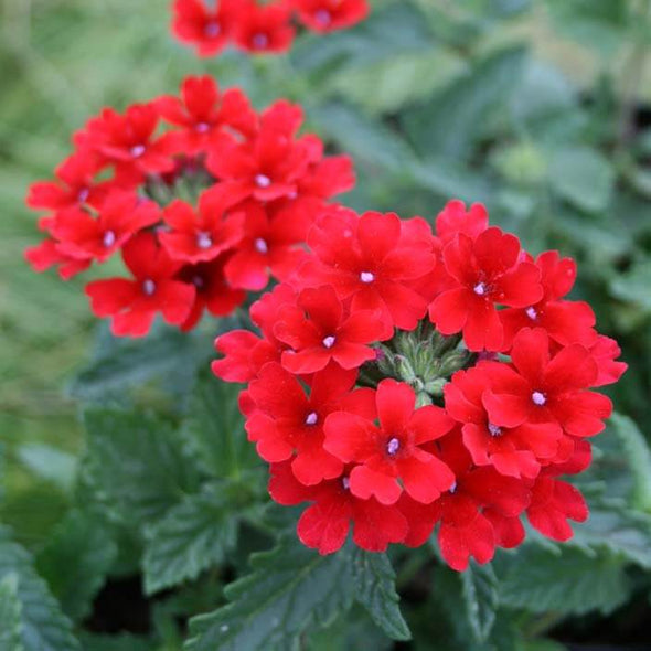Verbena canadensis 'Homestead Red' Vervain