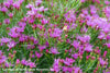 Vernonia lettermannii Iron Butterfly Ironweed for sale