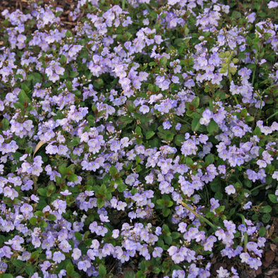 Veronica 'Waterperry Blue' Creeping Speedwell