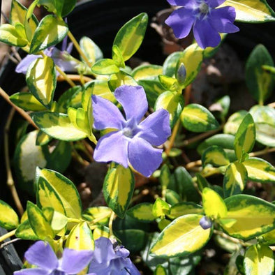 Vinca minor 'Illumination' Periwinkle