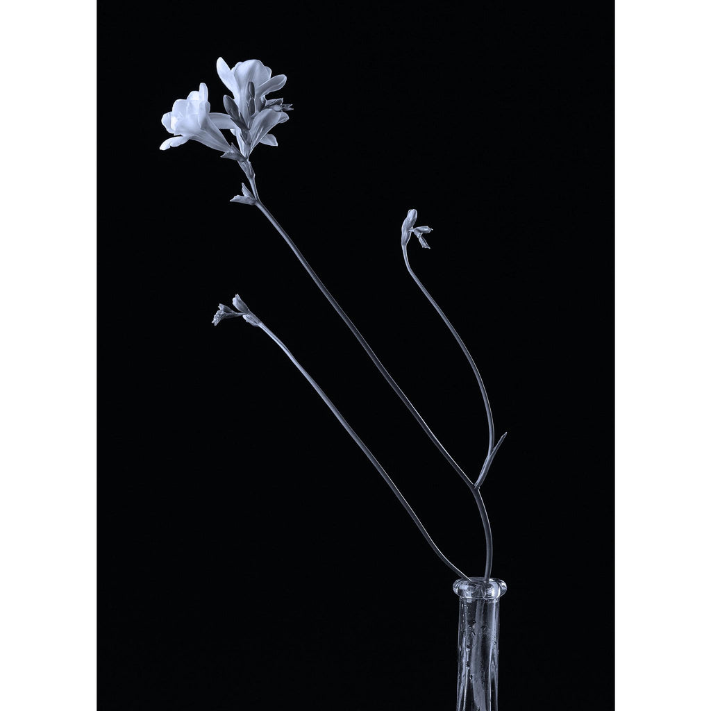 FREESIA FLOWER - cyanotype