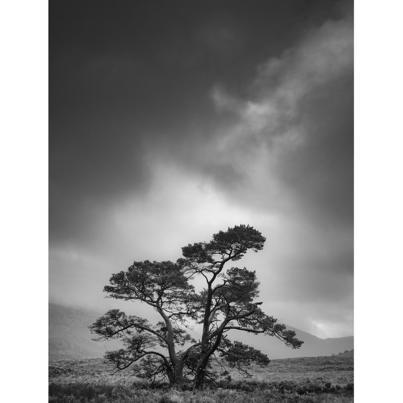 TORRIDON - Winter Pine Tree