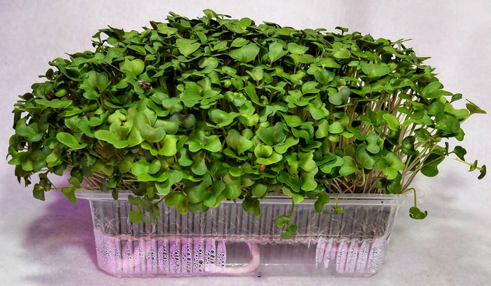 Broccoli Superfood Auto Water Broccoli Microgreen Grow Kit