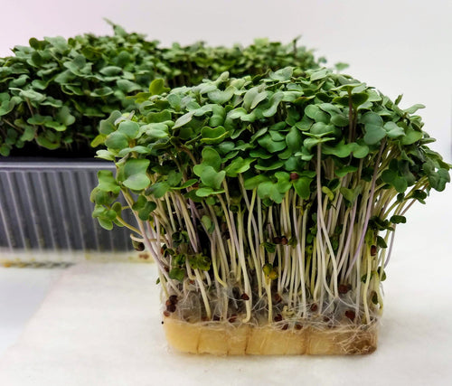 Eco Mini Microgreen Grow System - New Hydroponic Personal Microgreen Growing System, Each Mini Tray is enough Microgreens for 2-4 salads