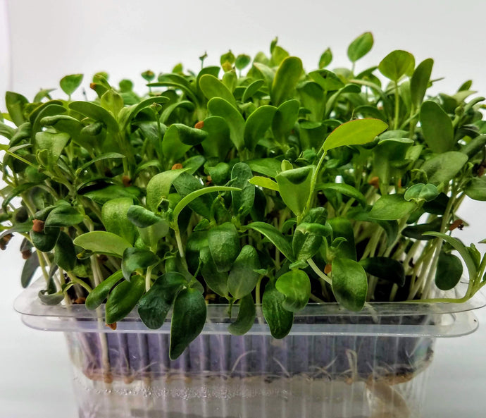 Auto Water Exotic Methi Microgreens - Used for health for over 3,000 years in India