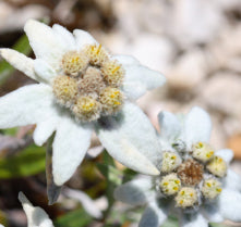 edelweiss extract