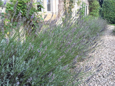 GETTING THE GARDEN READY FOR AUTUMN: THE LAVENDER PRUNING DEBATE