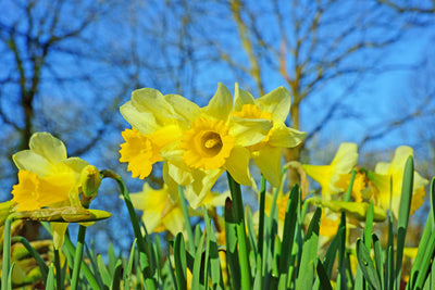 Gardening tip - Don't give up on your daffodils