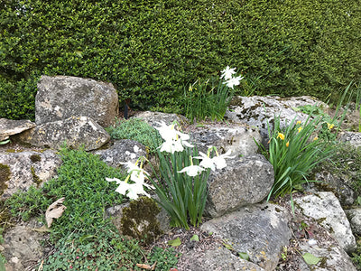Flowers out of season: Daffodils in December, Magnolia in January