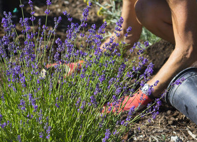 The joys of lavender