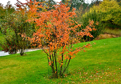 Garden trends - multi-stem trees