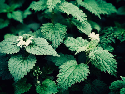 Nettles: the new must-have garden feature?