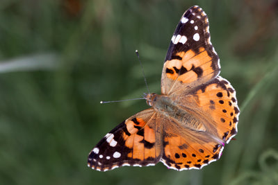 Count the Painted Lady butterfly