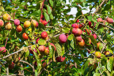 Seasonal produce - what to do with plums