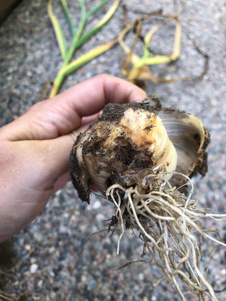 Garlic Update