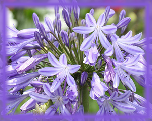 Agapanthus Flower Essence - Nature's Remedies