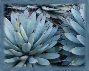 Agave Flower Essence - Nature's Remedies