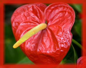 Anthurium Flower Essence - Nature's Remedies