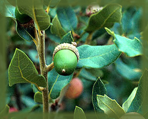Arizona White Oak Flower Essence - Nature's Remedies