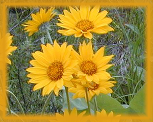 Arrowleaf Balsamroot Flower Essence