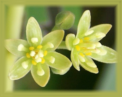 Avocado Flower Essence - Nature's Remedies